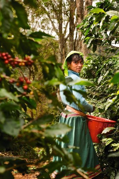Где кофе выращивают
